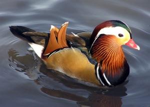 duck?